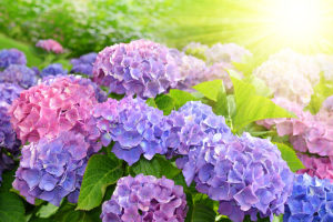 Easy, Beautiful Hydrangeas